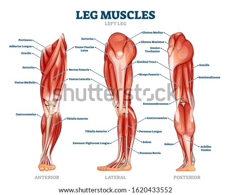 Leg muscle anatomical structure, labeled front, side and back view diagrams. Vector illustration informative medical scheme. Detailed anterior, lateral and posterior views.Men sports fitness training. ストックフォト ©