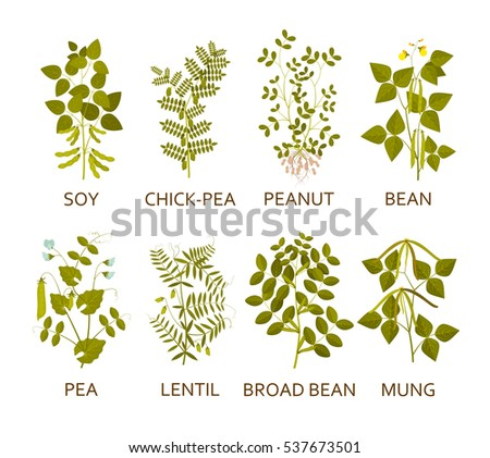 Legumes plants with leaves, pods and flowers. Vector illustration.