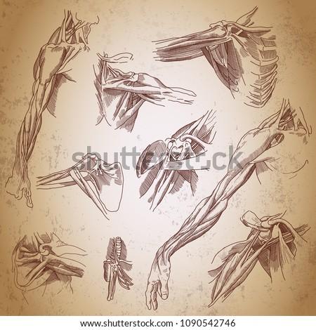 Leonardo da Vinci sketches.  Three studies of a right arm. Retro anatomy poster. Shoulder joint anatomy. Arm anatomy. Vintage engraving poster.