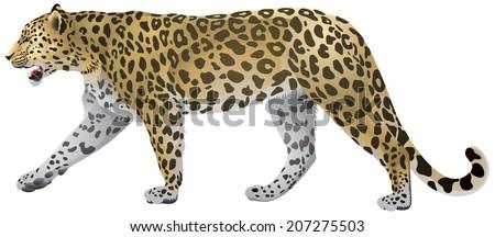 leopard walking  wild big cat