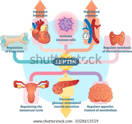 leptin hormone role in