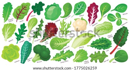 Lettuce and salad cartoon vector set of icon.Cartoon vector set illustration leaf of lettuce. Isolated illustration collection leaf of salad icon.