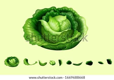 lettuce, Cabbage, lettuce isolated fresh green Vector illustration on light background, romaine lettuce leaves path isolated on white, green butter lettuce vegetable or salad isolated .
