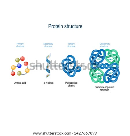 Levels of protein structure from amino acids to Complex of protein molecule. Protein is a polymer (polypeptide) that formed from sequences of amino acids