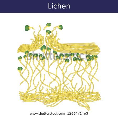 lichen  fungus  biology