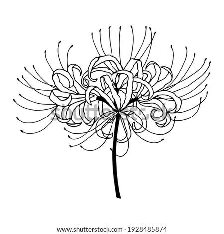 licoris radiant  spider lily