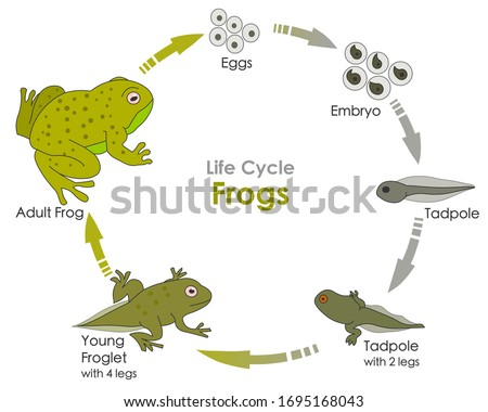 Life cycle of a frog. Amphibian reproduction. Lifecycle Frogs. Grow development stages. Reproductive metamorphosis. Egg embryo tadpole, young froglet, adult frog. Explanation. Draw Illustration Vector Stock photo ©