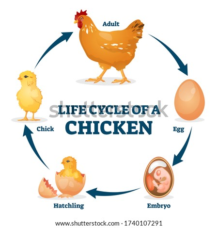 Life cycle of chicken vector illustration. Labeled educational hen process from egg, embryo to hatchling and chick. Animal growth stages explanation from biological aspect. Fertilized eggs development