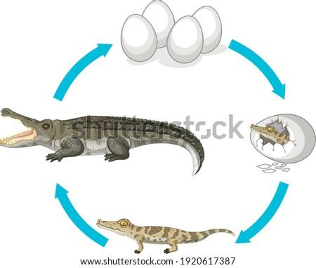 Life cycle of crocodile on white background illustration