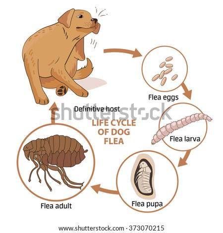 Life cycle of dog flea vector illustration. Spread of infection. Veterinary Medicine Vector. Sick dog vector.