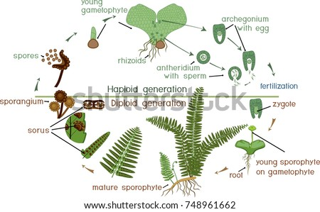 Plant Life Cycle Illustration Download Free Vector Art Stock
