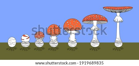 Life cycle of red fly agaric mushroom. Stages of fly agaric (Amanita muscaria) fruiting body matures Stock fotó ©