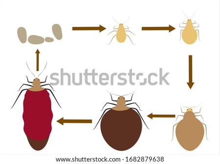 life cycle of the bed bug vector