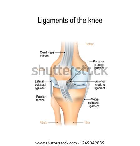 Ligaments of the knee. Anterior and Posterior cruciate ligaments, Patellar and Quadriceps,  tendons, Medial and Lateral collateral ligaments. joint anatomy. Vector illustration