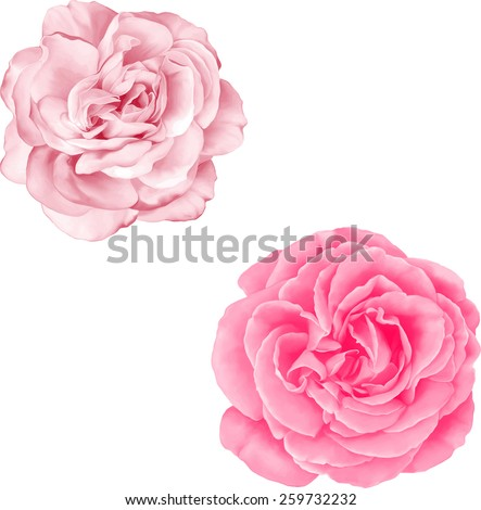 light pink rose flower isolated