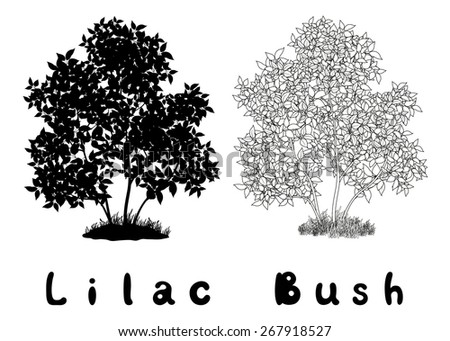 lilac bush with leaves and