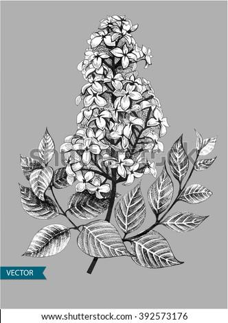 lilac or syringa vulgaris
