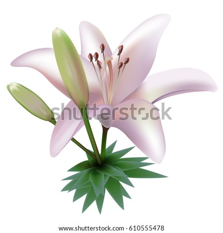 lilly flower isolated on white