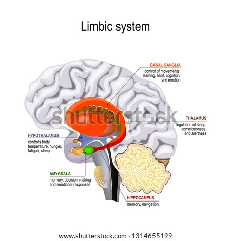 limbic system. Cross section of the human brain. Anatomical components of limbic system: Mammillary body, basal ganglia, pituitary gland, amygdala, hippocampus, thalamus, cingulate gyrus