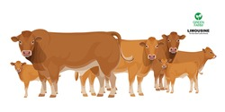 Limousine - The Best Beef Cattle Breeds. Set Bull, Cow, Calf. Farm animals. Vector Illustration.