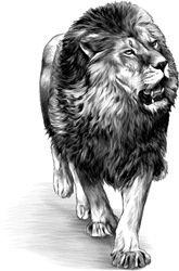 lion in full growth goes, sketch vector graphics monochrome illustration on white background
