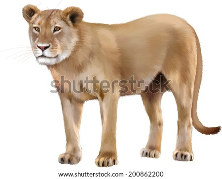 Lioness Front View Lioness - Panthera leo