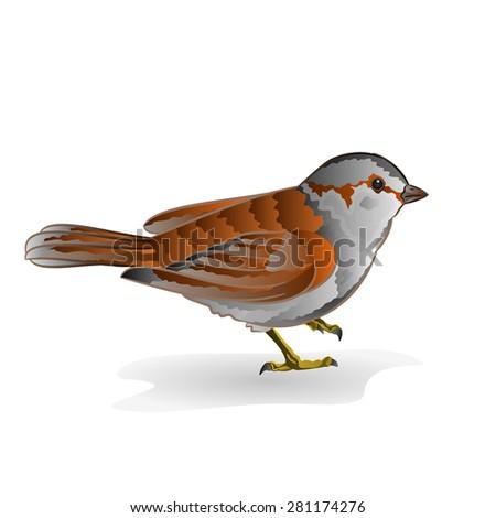 little bird cub sparrow  passer