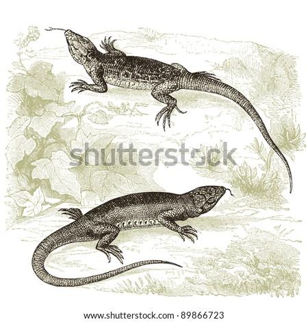 lizard   vintage engraved