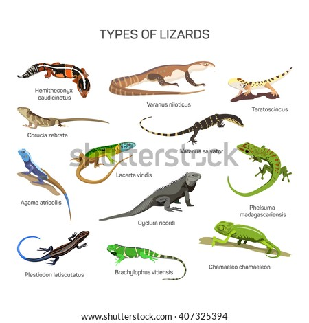 Lizards vector set in flat style design. Different kind of lizard reptile species icons collection. Isolated on white background.