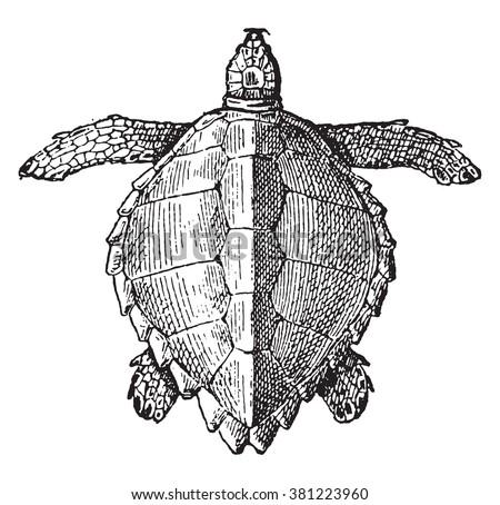 Loggerhead sea turtle, vintage engraved illustration. Dictionary of words and things - Larive and Fleury - 1895.