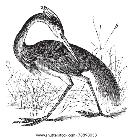 Louisiana Heron (Ardea ludoviciana) or Tricolored Heron (Egretta tricolor) vintage engraving. Old engraved illustration of beautiful Louisiana Heron. Trousset encyclopedia (1886 - 1891)