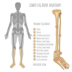 Lower leg bone anatomy. Anterior view with primary bones names. Vector illustration with human skeleton scheme isolated on a white background.