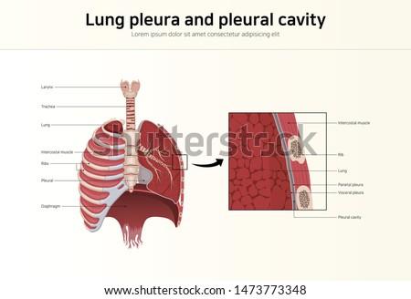 Lung pleura and pleural cavity  Foto stock ©