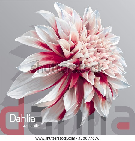 Luxurious red-white garden Dahlia flower (Dahlia variabilis) - photo-real vector drawing on neutral grey background