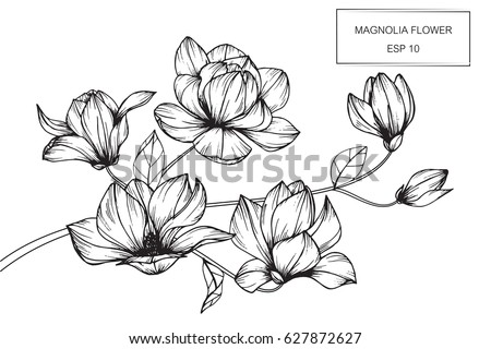 Magnolia flowers drawing and sketch with line-art on white backgrounds. #627872627
