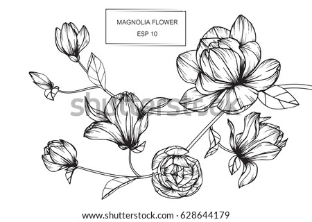 Magnolia flowers drawing and sketch with line-art on white backgrounds. #628644179