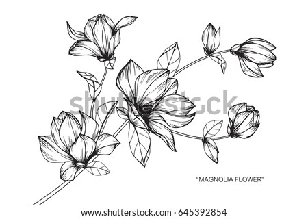 Magnolia flowers drawing and sketch with line-art on white backgrounds. #645392854