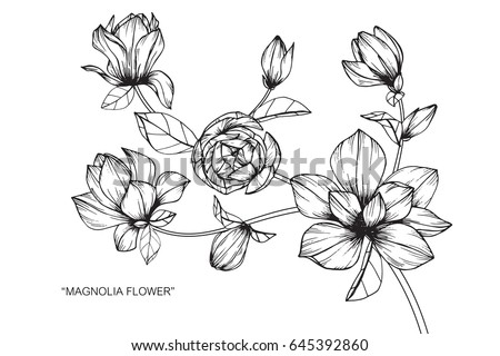 Magnolia flowers drawing and sketch with line-art on white backgrounds. #645392860