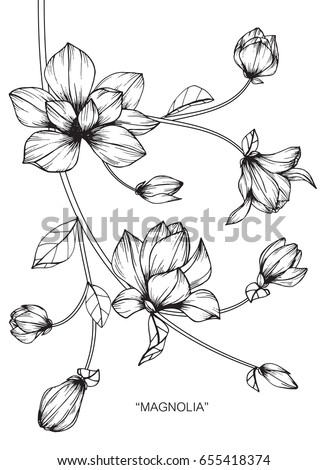 Magnolia flowers drawing and sketch with line-art on white backgrounds. #655418374