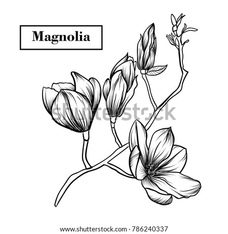 Magnolia flowers drawing.Vector, illustration and clip art on white backgrounds.Idea for business visit card, typography vector,print for t-shirt. #786240337