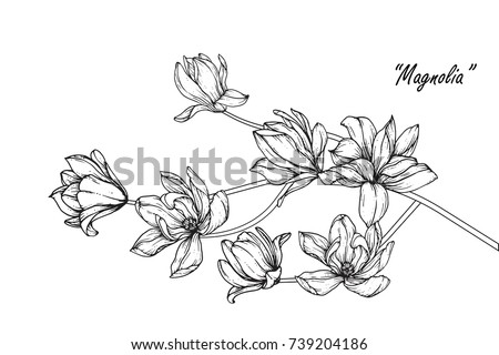 Magnolia  flowers drawing with line-art on white backgrounds. #739204186