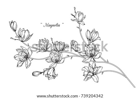 Magnolia  flowers drawing with line-art on white backgrounds. #739204342