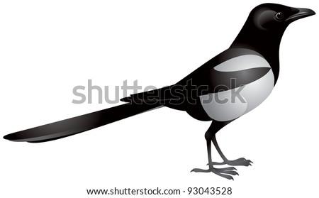 magpie  pica pica   passerine