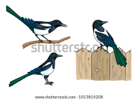 magpies in different poses