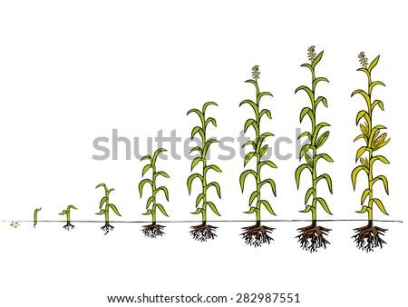 maize development diagram