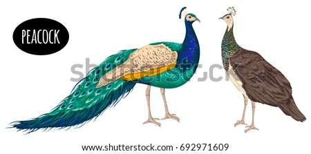 Male and female peacock on white background. Vintage hand drawn vector illustration in watercolor style