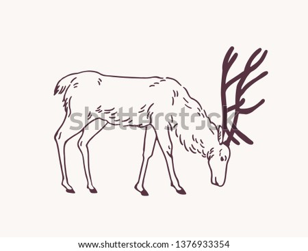 Male deer, reindeer or stag grazing on pasture hand drawn with contour lines on light background. Decorative drawing of eating forest herbivorous animal, side view. Monochrome vector illustration.