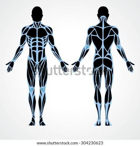 male muscular anatomy vector