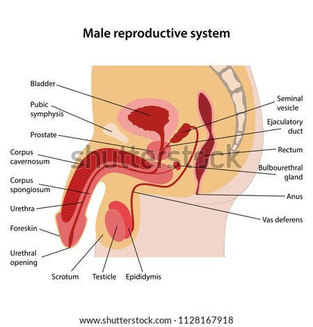 Male reproductive system with main parts labeled. Lateral view. Vector illustration.