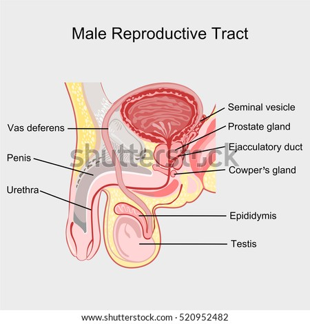 nb image vector male reproductive system median section